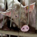 Die komplizierte Finanzoperation «Tierwohlabgabe»
