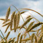 Getreidehändler sehen «historische Preisausschläge»