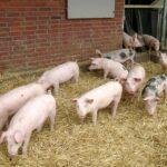BGH schützt «Hohenloher Landschwein»